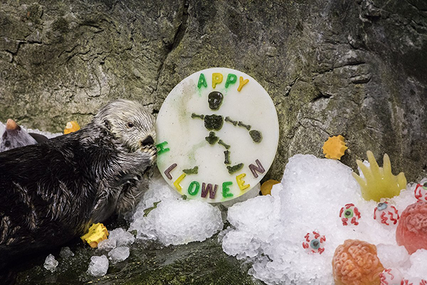 Shedd Aquarium's Sea Otters Had a Spooky Good Time on Halloween 1