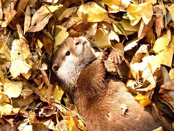 Otter Pup Hugs a Rock Among the Autumn Leaves
