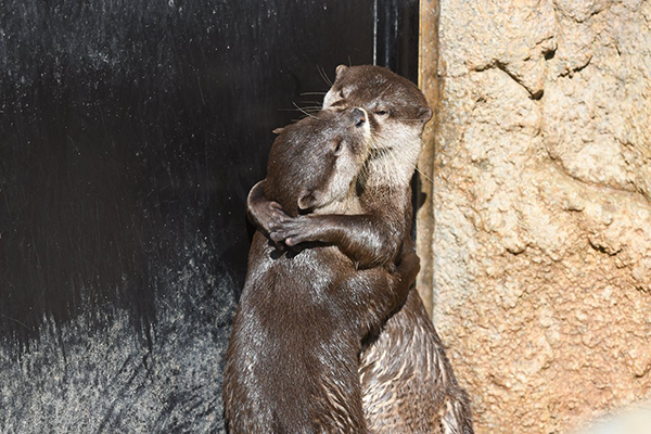 Otters Hug and Kiss 1