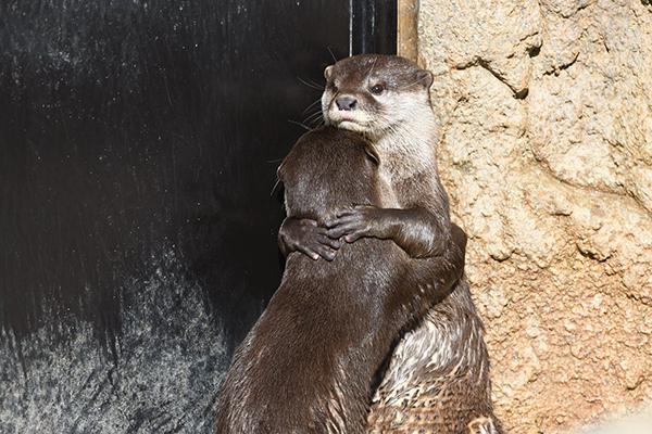 Otters Hug and Kiss 3
