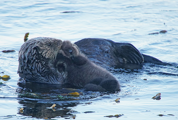 Mother Sea Otter Pulls Her Pup Onto Her Belly