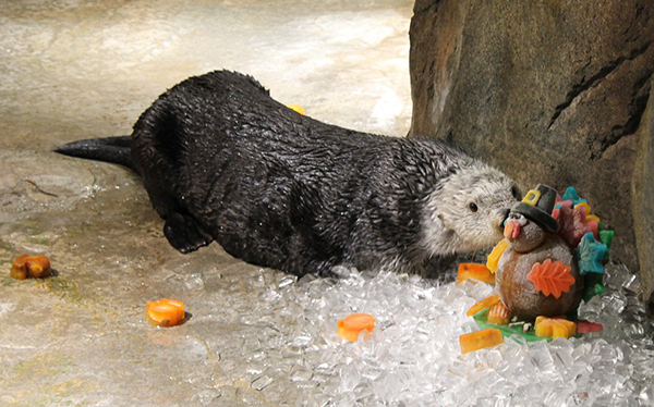 This Is Sea Otter's Kind of Thanksgiving Turkey