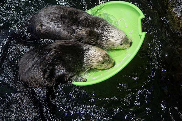 Sea Otters, That Floaty Might Sink If You Both Try It at the Same Time