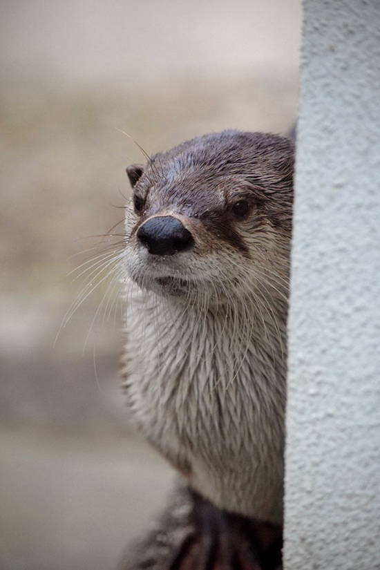 Otter Lurks Around the Corner