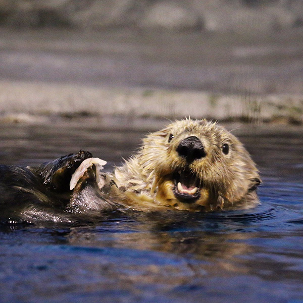 Sea Otter Is SO HAPPY to Have This Snack