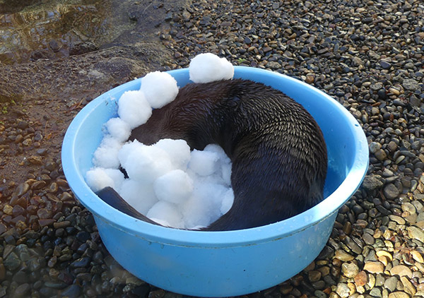 Those Snowballs Must Feel Great for Otter 2