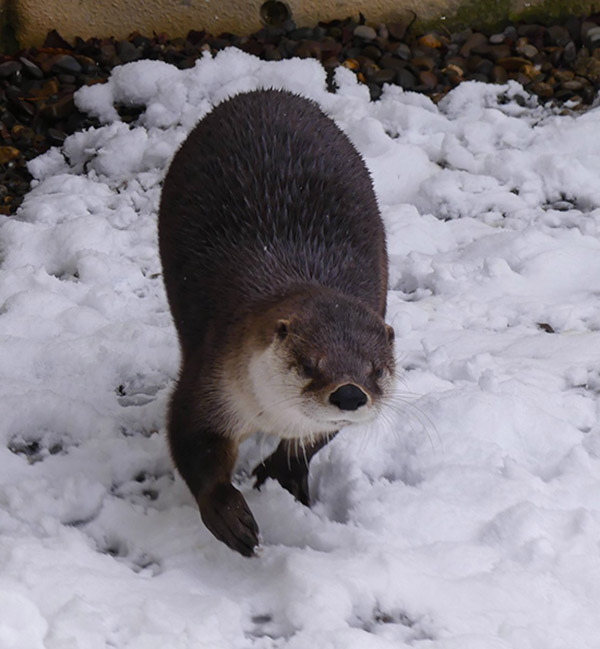 Watch Out, Human: Otter's Making a Snowball