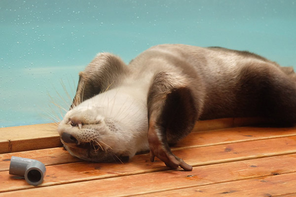 Otter's About to Work on His Back Flexibility with Wheel Pose