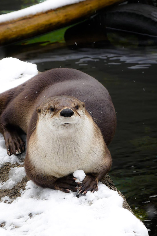 Disgruntled Otter Is Deciding at Whom to Throw That Snowball