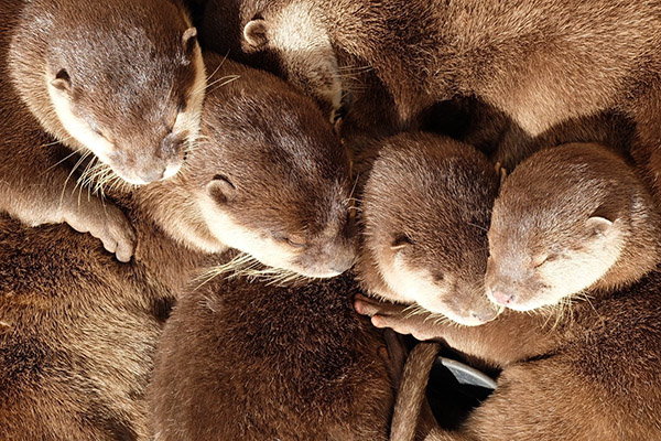 The Coziest Otter Cuddle Puddle Ever