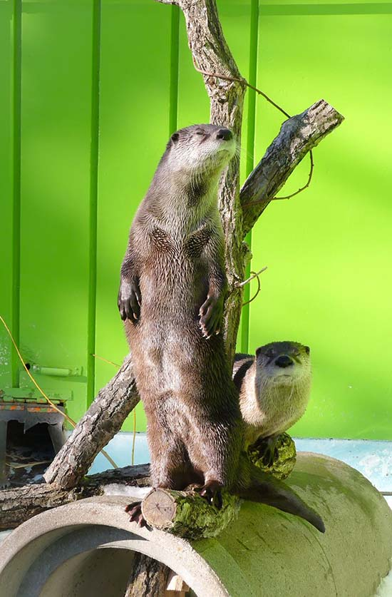 Otter Stands Up to Get the Most Out of the Sun's Rays