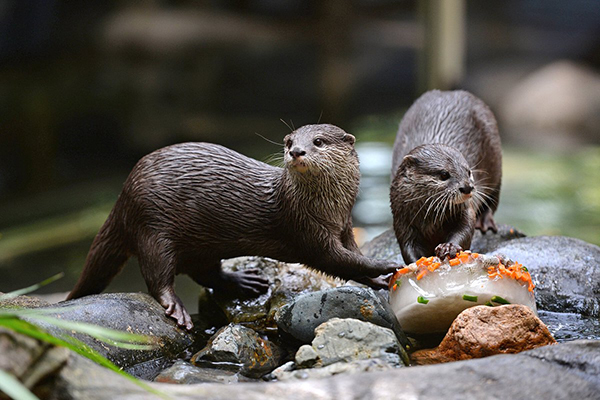 Otter Shares Her Birthday Cake with a Friend