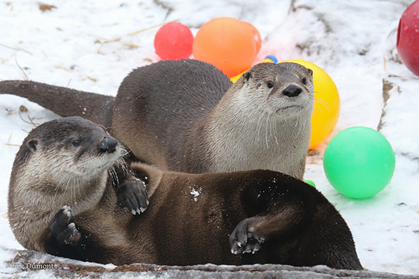 Otters Take a Break from Partying