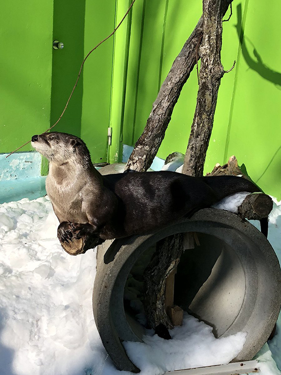 Otter's Found a Good Perch from Which He Can Survey His Kingdom