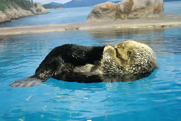 Sea Otter Spends Some Time on Her Tail