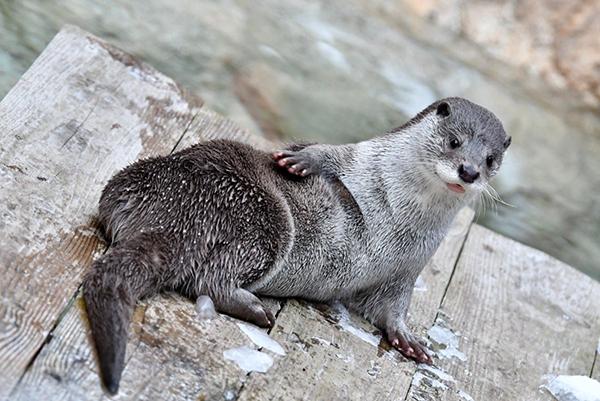 Otter Strikes a Swimsuit Model Pose
