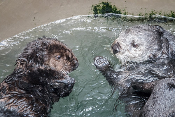 Adult Sea Otter Gives Pup Ottering Tips