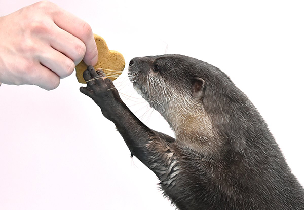 Otter Gets a Valentine's Day Cookie