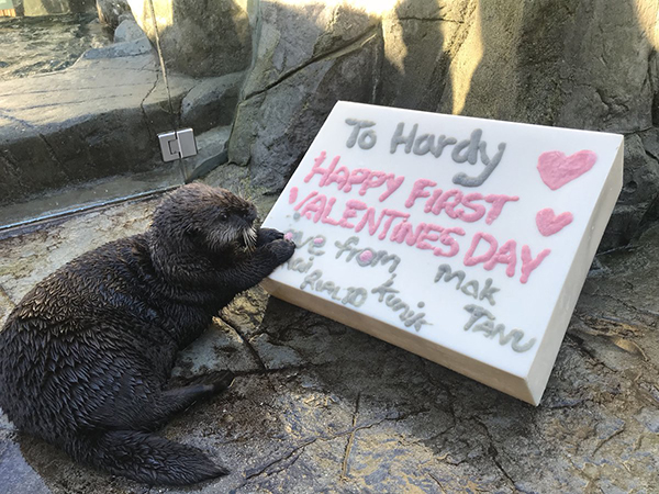 Hardy Got a Sweet Valentine from His Sea Otter Friends