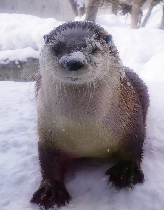 Otter Kind of Likes That He Has Snow on His Face, Actually