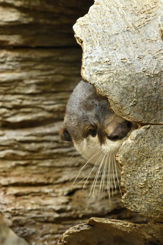 Otter Is Caught Spying on Human