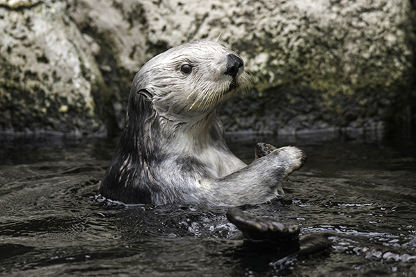 Sea Otter Keeps an Eye Out for a Keeper Bearing Treats