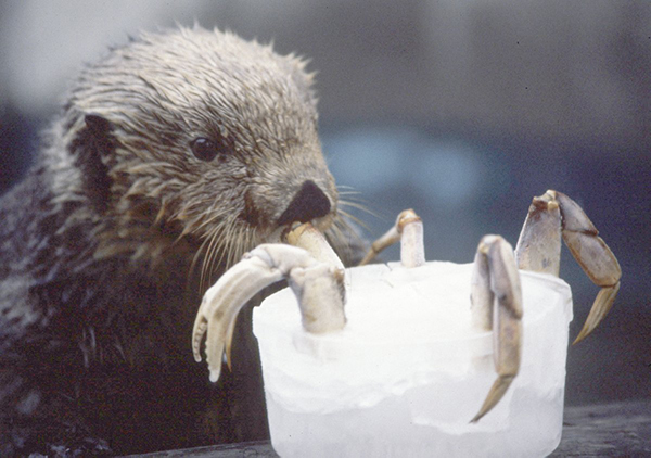 Lucky Sea Otter Digs into a Crab Cocktail