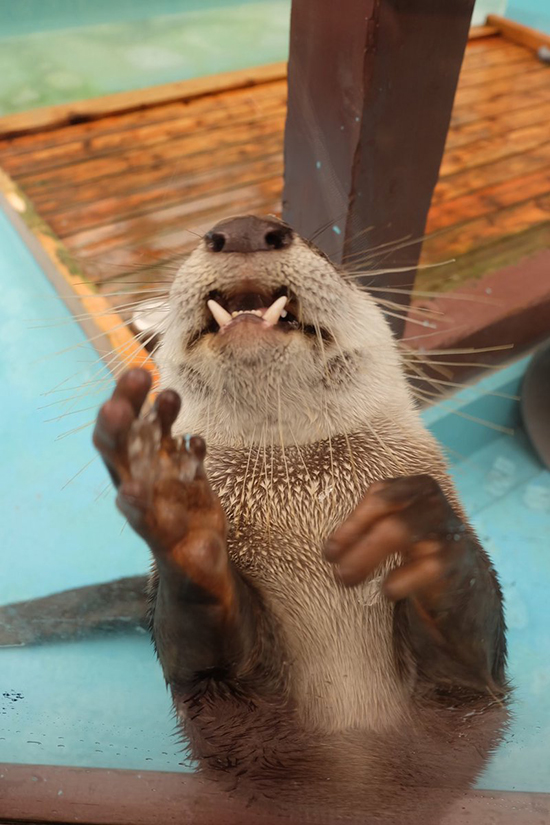 What Formidable Teeth You Have, Otter!