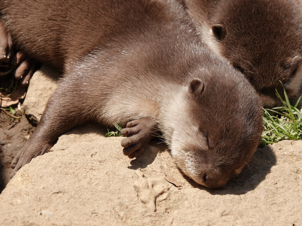 Little Otters Nap in the Sunshine