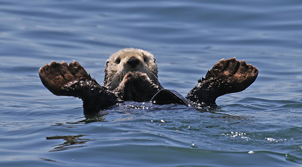 Sea Otter Shows Off Those Big Flippers