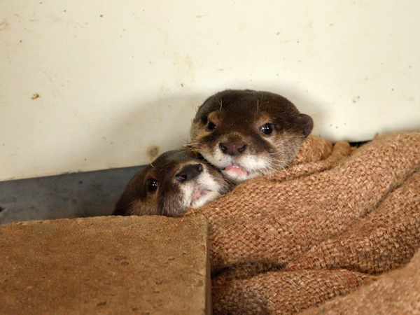 Otters Are All Cuddled Up Together