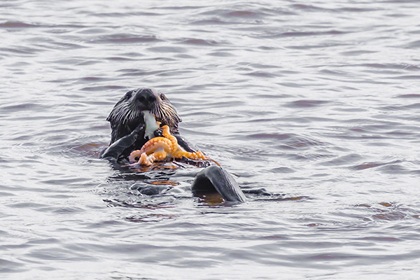 Sea Otter Indulges in a Big, Tasty Meal