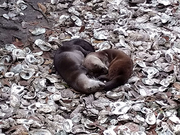 Otters Are So Fond of Each Other They Even Cuddle in a Heart Shape