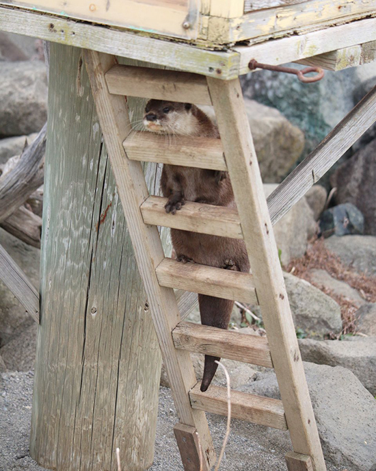 Otter Heads Up the Ladder to the Otterfort