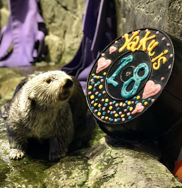 Sea Otter Yaku Celebrates His 18th Birthday! 2