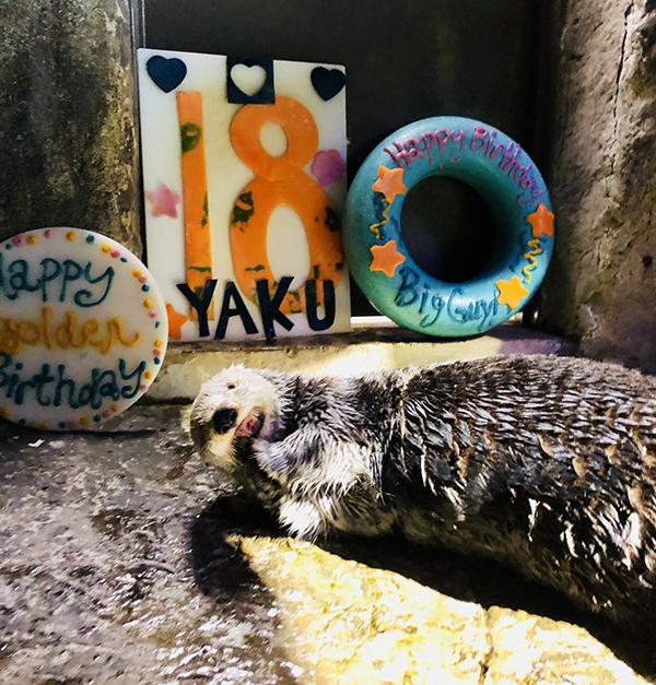 Sea Otter Yaku Celebrates His 18th Birthday! 3