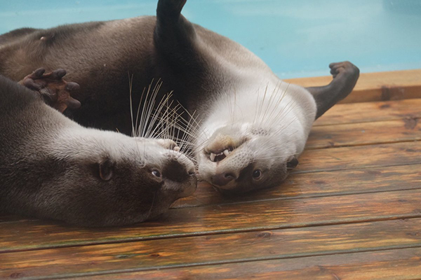 Otters Have an Upside-Down Conversation