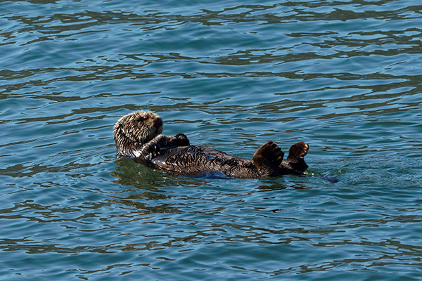 Sea Otter Has a Quiet Float in the Sun