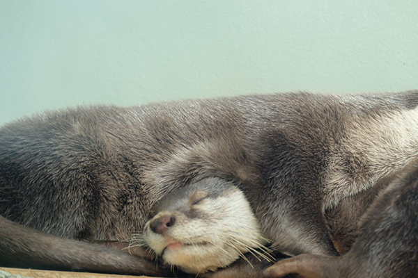 That's a... Cozy... Way to Sleep, Otters