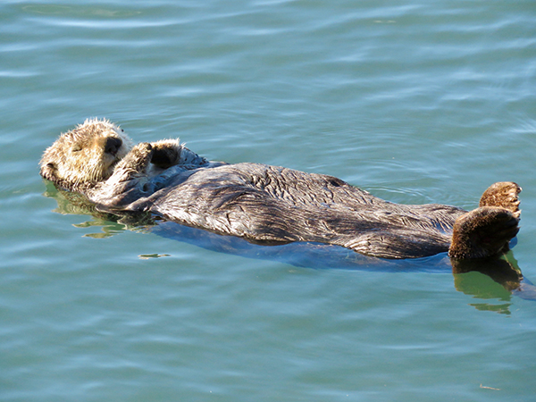A Quiet Sea Otter Taking a Quiet Snooze on Quiet Waters