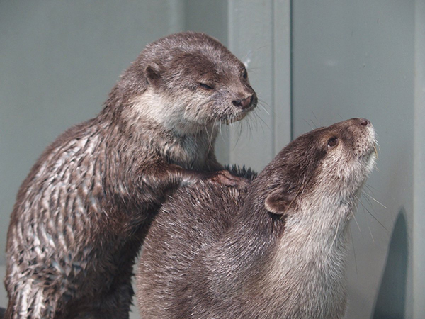 Otter Gives His Friend a Backrub