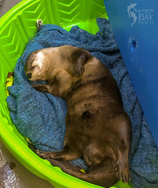 Otter Sprawls Out for a Nap
