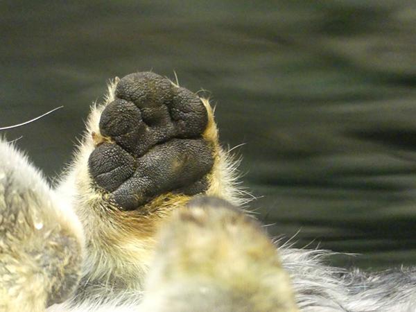 Sea Otter Paw!