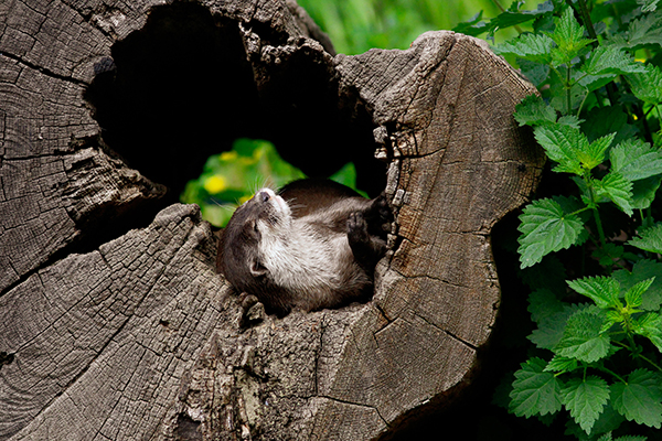 A Hollowed-Out Log Makes a Perfect Place for a Nap