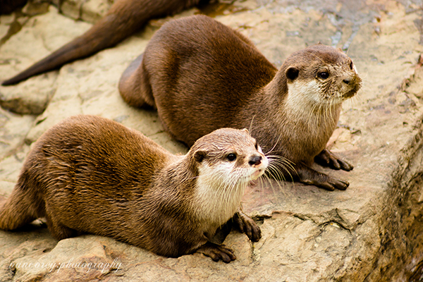 Otters Watch and Wait