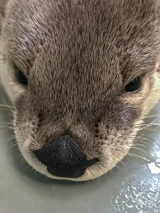 What an Otterly Boopable Nose