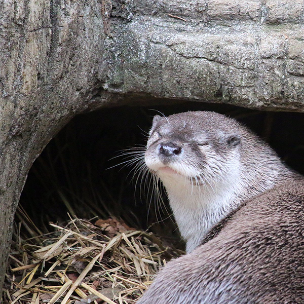 Otter's About to Slink Under There for a Nap