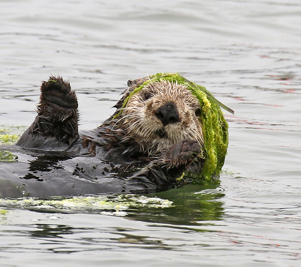 Fashionista Sea Otter Can Pull Off a Kelp Hat