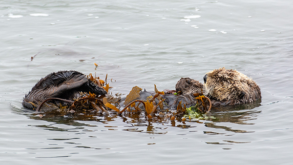 Sea Otter Naps in a Tangle of Kelp