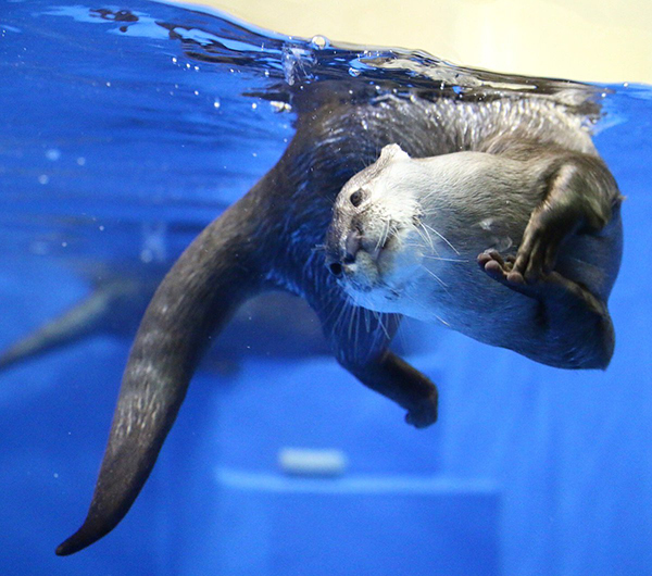 Otter Does an Underwater Backbend